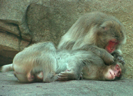 NYLearns org - Getting to Know the Japanese Macaque by The Buffalo Zoo
